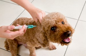 dog-vaccination-300x198 I don't vaccinate my dogs at all – the High Risk Option?