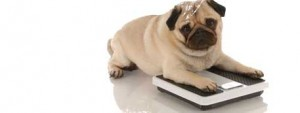 overweight-dog-300x113 The Growing Problem of Dog Obesity
