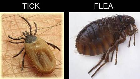 flea_tick Ticks and fleas on dogs