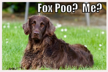 Animals211 Why do dogs like fox poo
