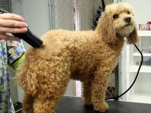 145154795-how-to-find-a-good-groome-632x475-300x226 How to Find a Good Groomer