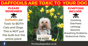 finchley-dog-walker-daffodils-poison-300x157 Plants You Should Never Have in a Dog Friendly Garden