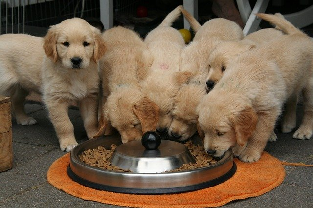 golden-retriever-puppy-2706672_640 How Much Should Your Dog Eat?